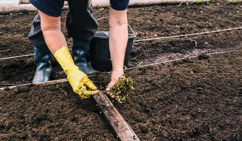 Plantando pl?ntulas de plantas novas no solo Close up da m?o de uma mulher na luva que est? plantando sementes do arando E fotografia de stock royalty free