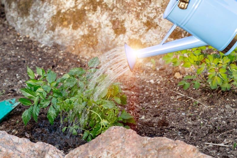 Plantando a planta de Astilba em jardins ornamentais de uma cama de flor - molhando da lata molhando fotografia de stock