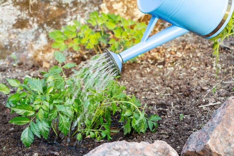 Plantando a planta de Astilba em jardins ornamentais de uma cama de flor - molhando da lata molhando imagens de stock royalty free