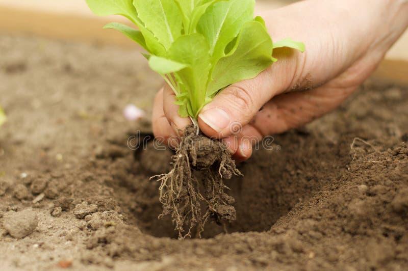 Plantando a planta nova da alface no jardim fotografia de stock