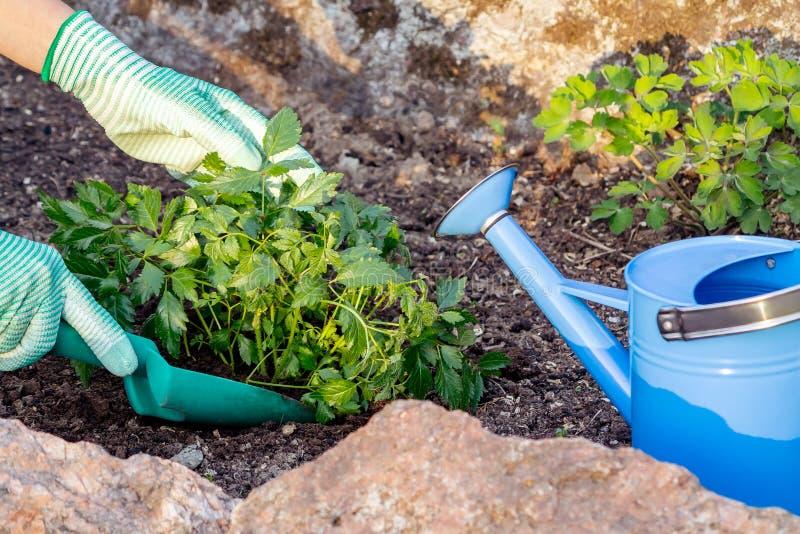 Plantando plantas Astilba no jardim ornamental da cama de flor fotografia de stock