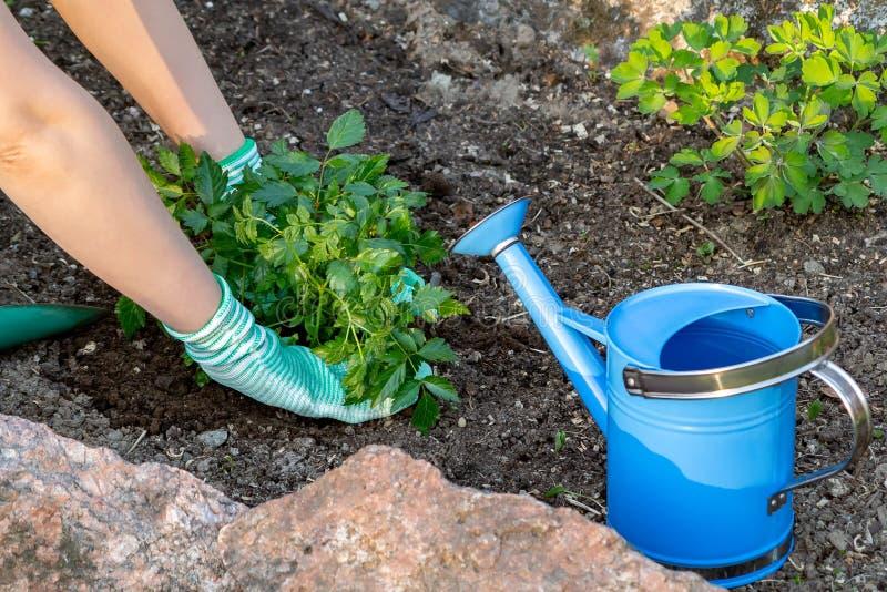 Plantando plantas Astilba no jardim ornamental da cama de flor fotografia de stock royalty free