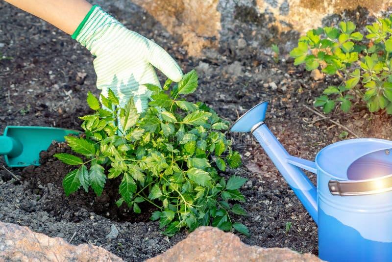 Plantando plantas Astilba no jardim ornamental da cama de flor foto de stock royalty free