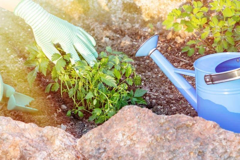 Plantando plantas Astilba no jardim ornamental da cama de flor imagem de stock