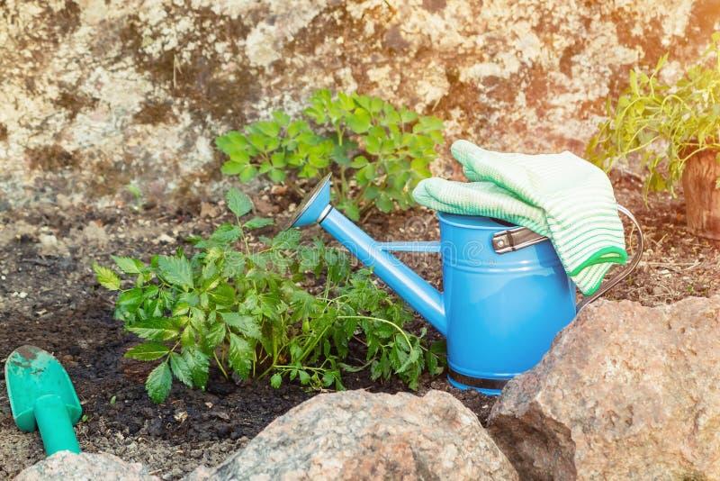 Plantando plantas Astilba no jardim ornamental da cama de flor - feito imagem de stock