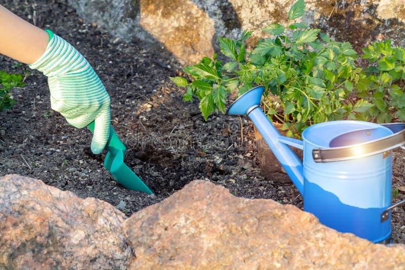 Plantando plantas Astilba no jardim ornamental da cama de flor - furos de escavação imagem de stock