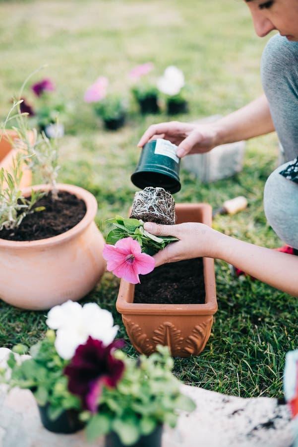 Plantando plantas do petúnia imagens de stock royalty free