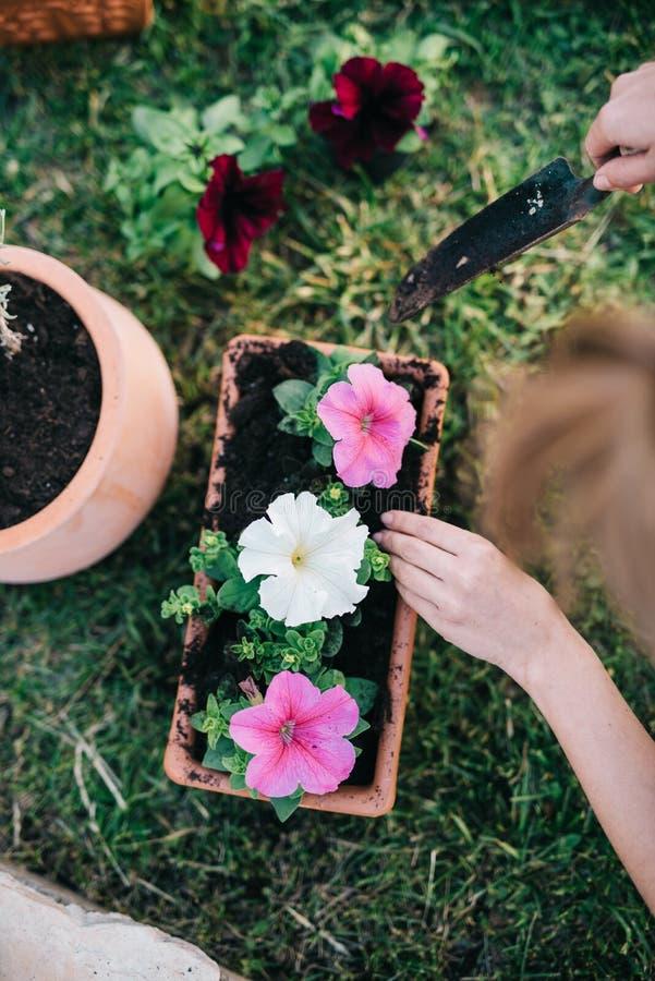 Plantando plantas do petúnia imagem de stock