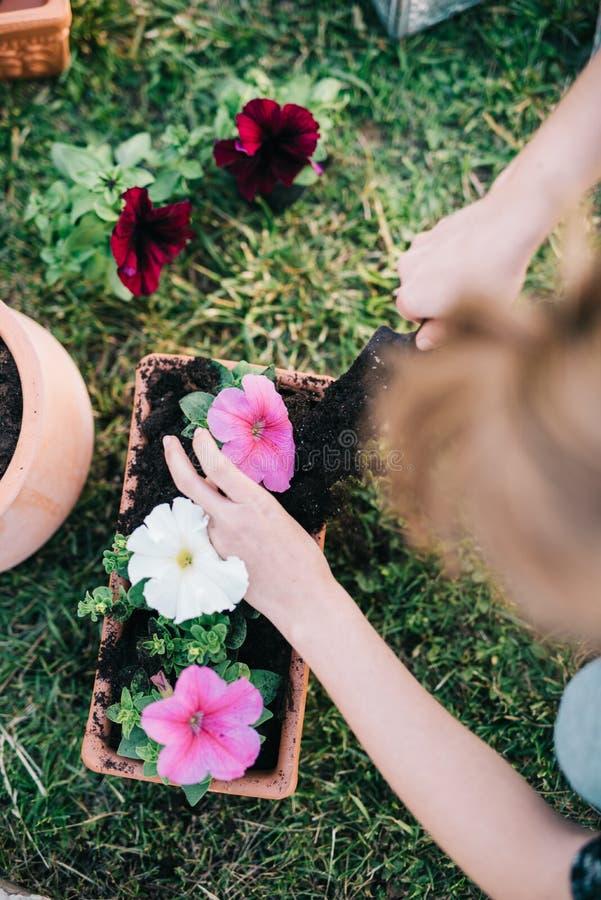 Plantando plantas do petúnia foto de stock
