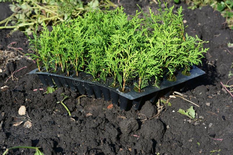 Plantando rebentos sempre-verdes da árvore do thuja para o cerco verde, conversão imagem de stock