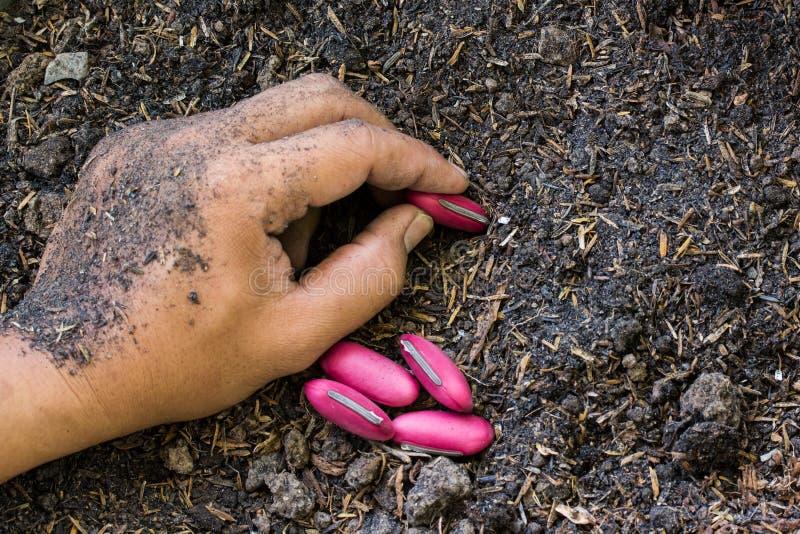 Plantando sementes do feijão no solo imagem de stock