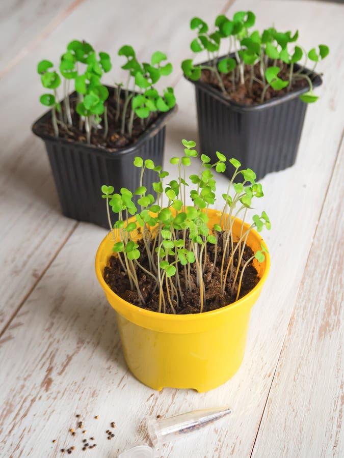 Plantando sementes na primavera Sementes e brotos imagens de stock