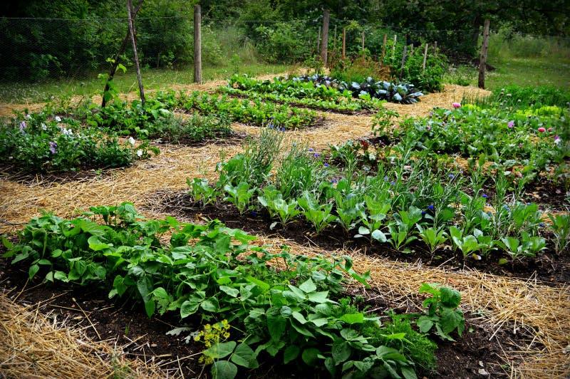 Plantando tomates