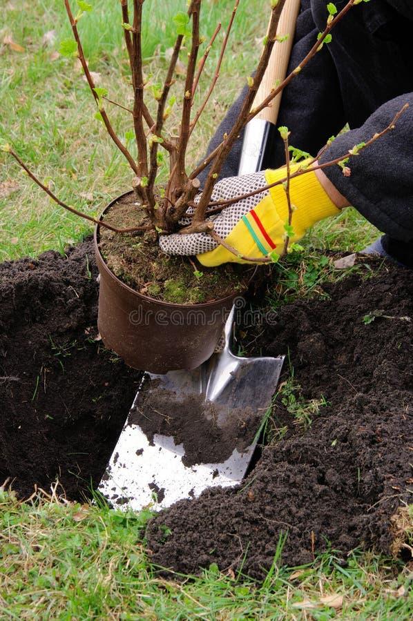 Plantando um arbusto foto de stock royalty free
