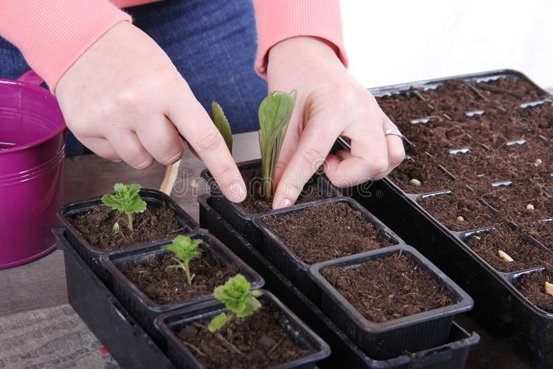 Plantando uma flor nova do marguerite foto de stock