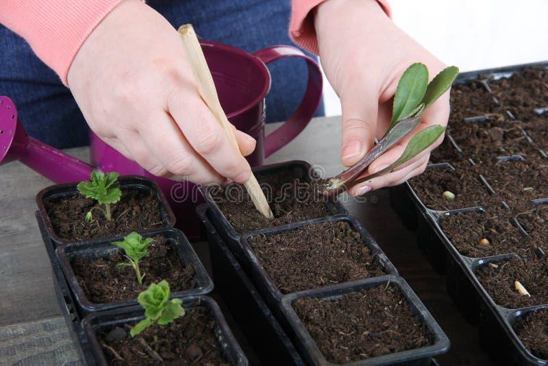 Plantando uma planta nova do marguerite fotos de stock royalty free