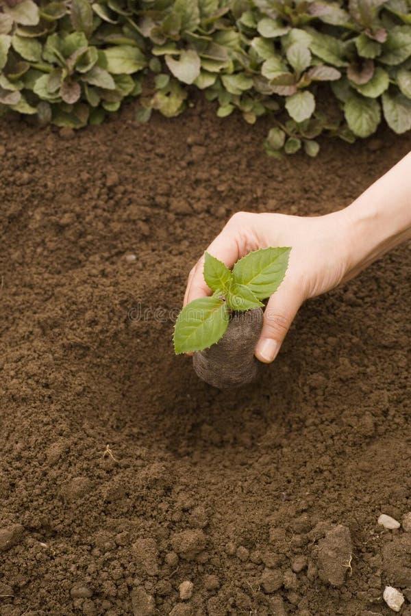Plantando uma planta pequena fotografia de stock