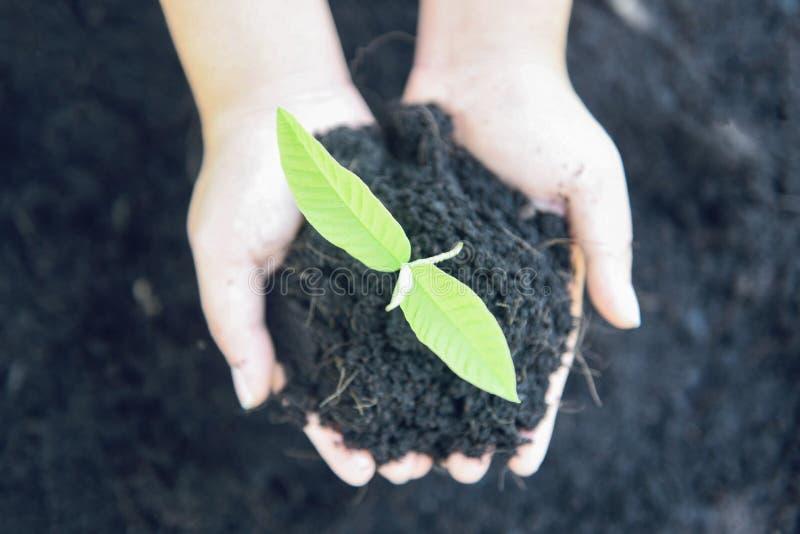 Plantando una plántula de los almácigos del árbol están creciendo en el suelo que detiene a mano a la mujer para ayudar al ambien fotos de archivo
