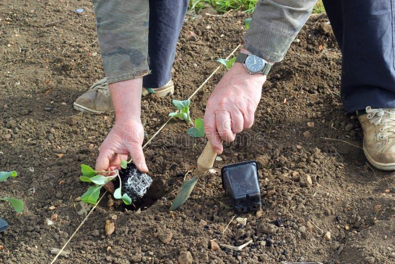Plantando vegetais novos na primavera. fotos de stock royalty free