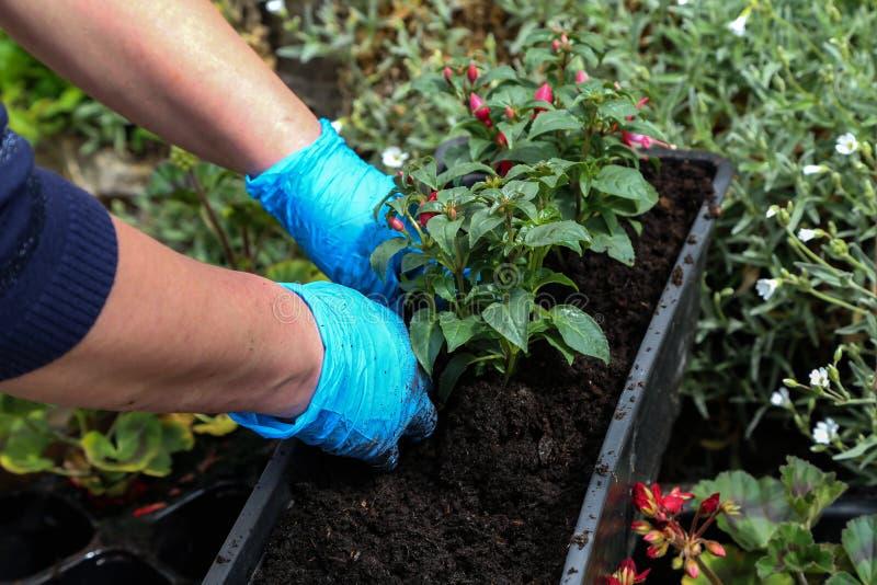 Plantant des fleurs dans les pots de fleur au printemps photographie stock libre de droits