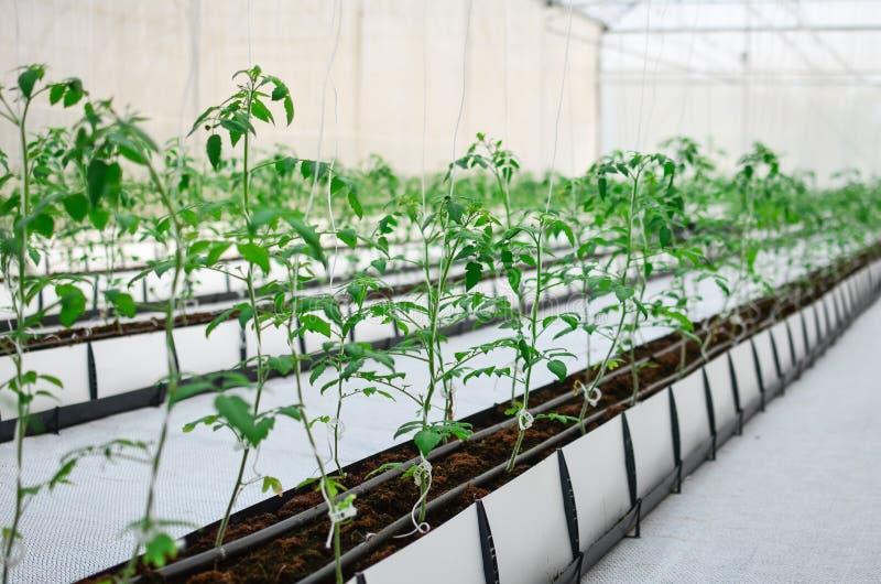 Plantant la tomate d'intérieur images stock