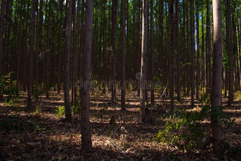 Plantantion d'eucalyptus dans Três Marias, Minas Gerais photographie stock