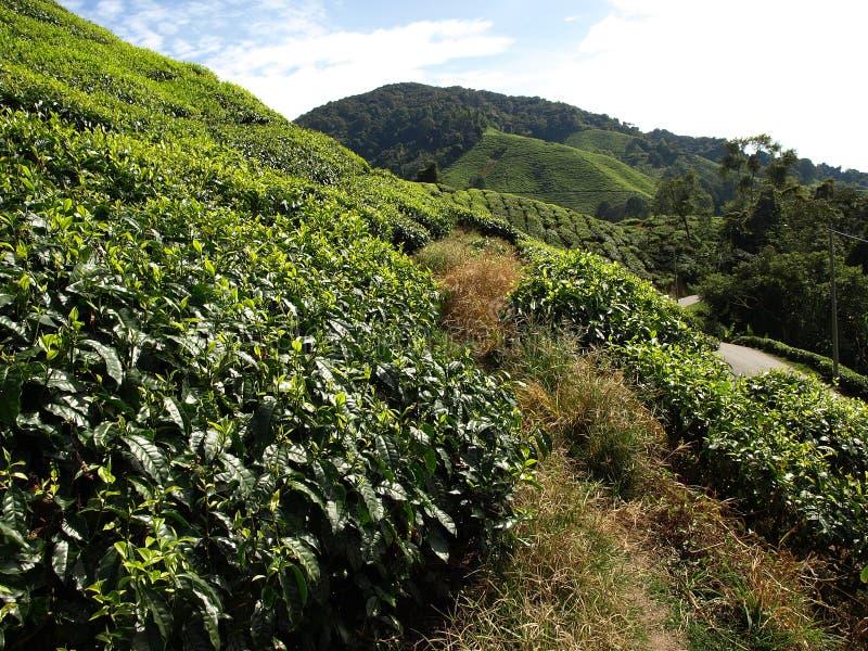 Plantantions Cameron Highlands de thé image libre de droits