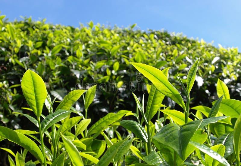 Plantantions Cameron Highlands de thé photos libres de droits