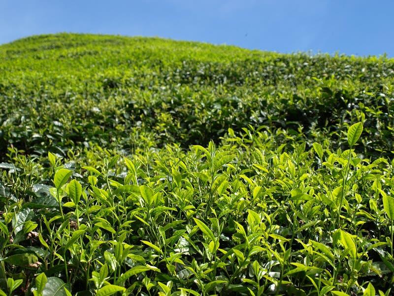 Plantantions Cameron Highlands de thé photo stock