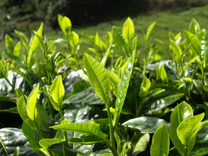 Plantantions Cameron Highlands de thé photographie stock libre de droits