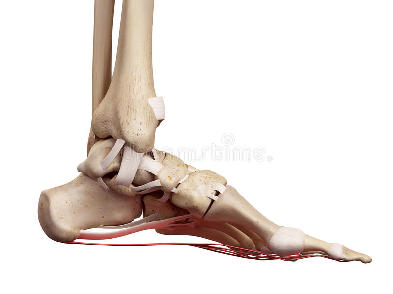 The Plantar Aponeurosis Ligament Stock Illustration - Illustration ...