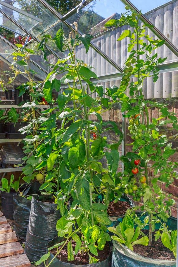 Plantas altas del tomate y del pepino que crecen en una casa verde en un patio trasero o un jardín imágenes de archivo libres de regalías