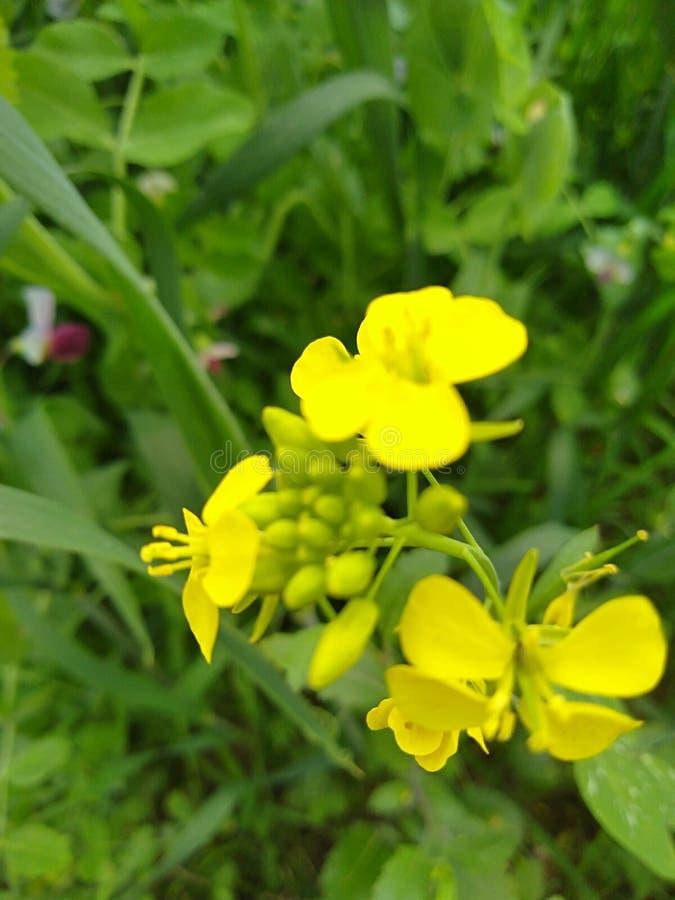 Plantas amarillas hermosas de la mostaza en campo de mi pueblo fotos de archivo
