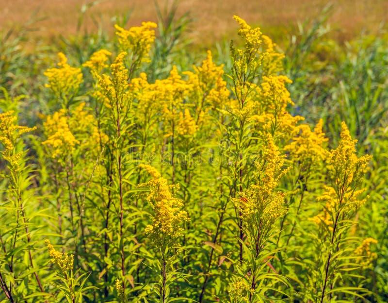 Plantas amarillas oscuras florecientes salvajes amarillas del cierre fotos de archivo