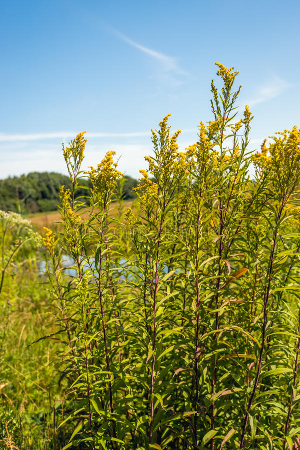 Plantas amarillas oscuras florecientes salvajes amarillas del cierre imágenes de archivo libres de regalías