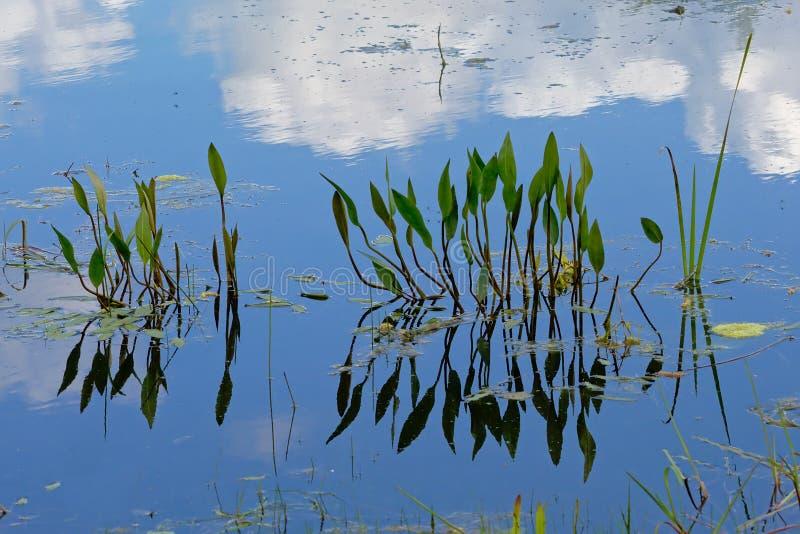 Plantas aquáticas, céu azul e nuvens refletindo na água fotografia de stock