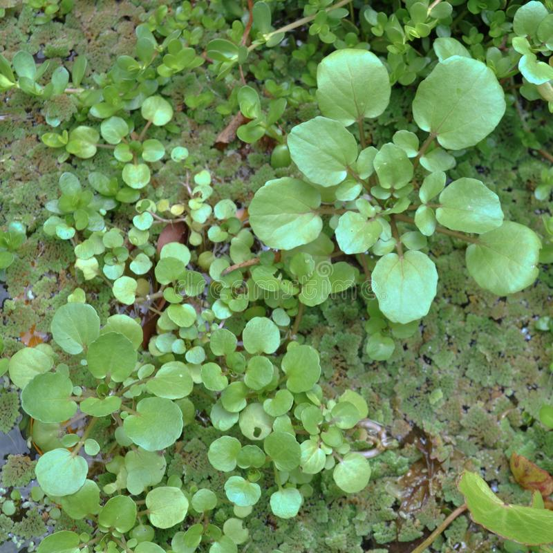 Plantas aquáticas verdes na lagoa imagens de stock royalty free