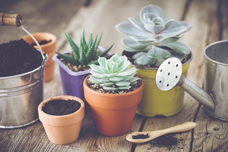 Plantas carnudas em uns potenciômetros, em uma cubeta com solo e na lata molhando imagem de stock royalty free