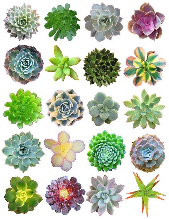 Plantas carnudas isoladas ilustração royalty free