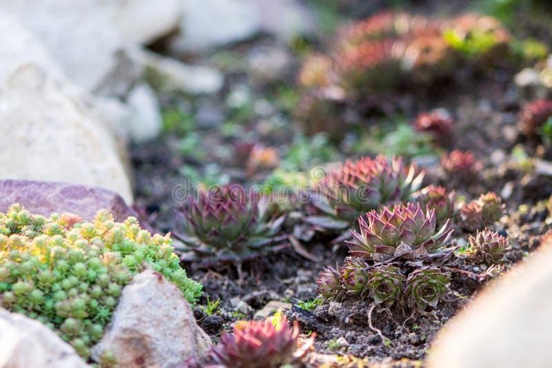 Plantas carnudas Sempervivum ou pedra Rosa ou galinha e galinha e gree fotografia de stock royalty free