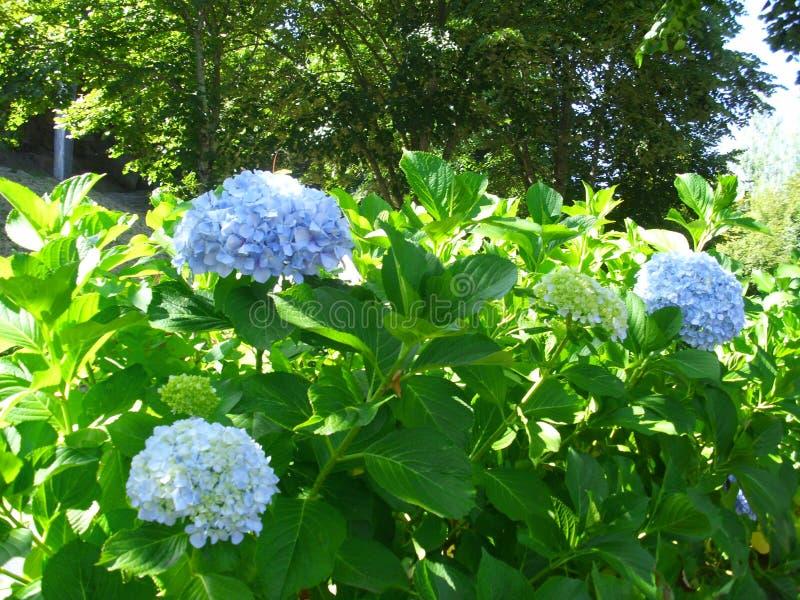 Plantas con los ramos hermosos de flores azules claras fotografía de archivo libre de regalías