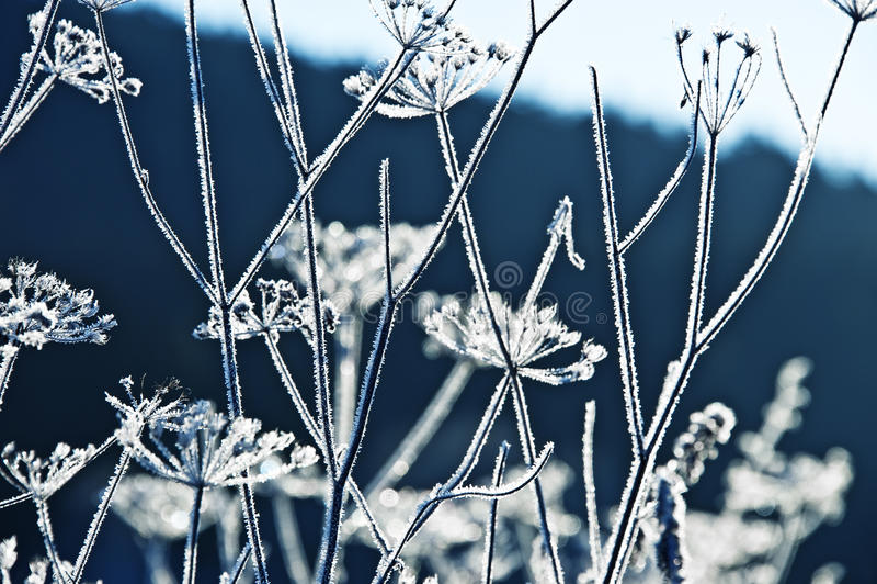 Plantas congeladas do umbel fotografia de stock