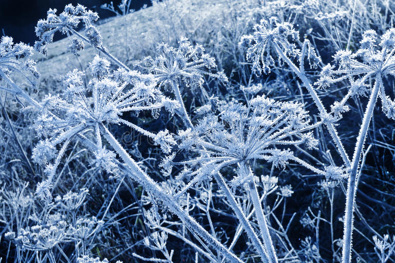 Plantas congeladas do umbel com cristais de gelo foto de stock royalty free