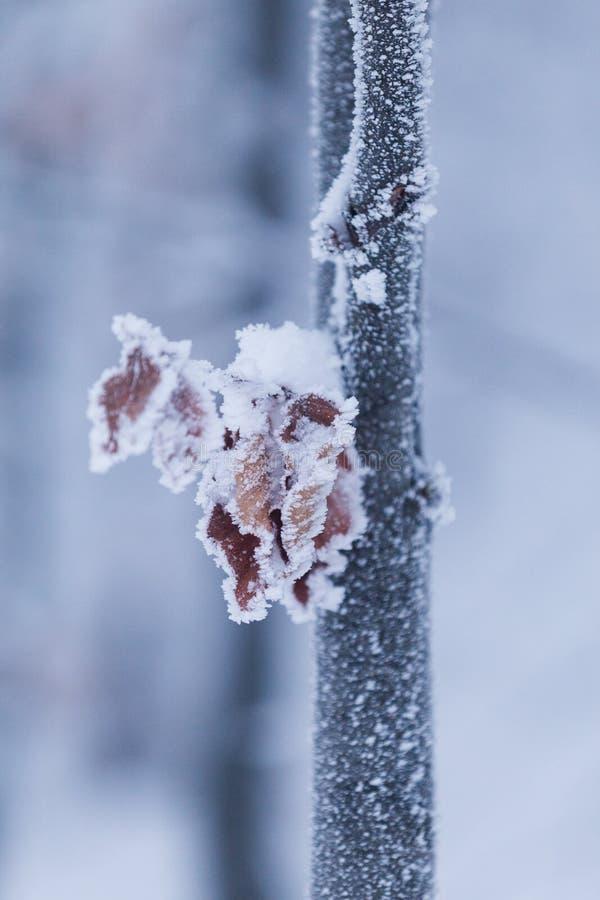 Plantas congeladas durante un día de invierno muy frío en las montañas de Rumania foto de archivo