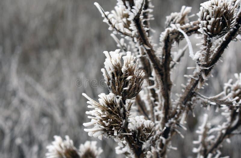 Plantas congeladas no inverno imagens de stock