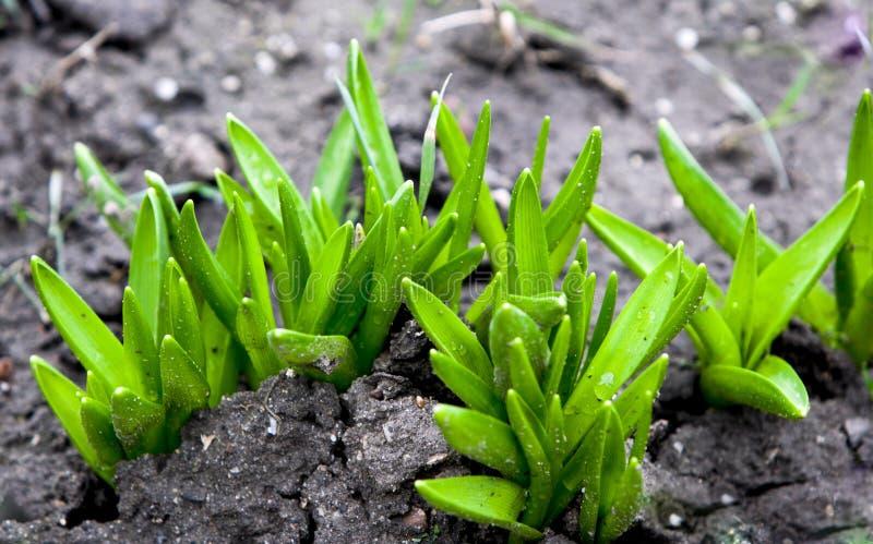 Plantas crecientes de las semillas foto de archivo