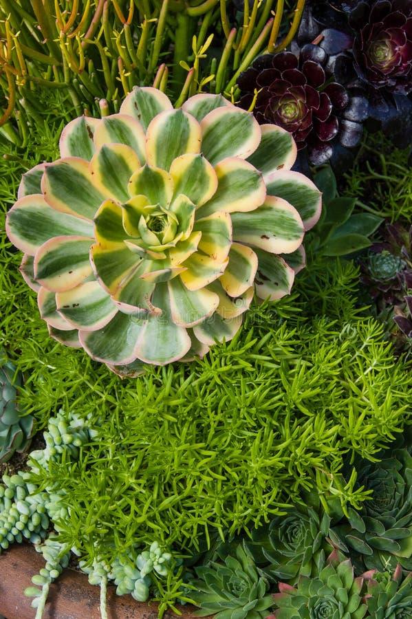 Plantas crecientes del sedum del envase con las hojas coloridas foto de archivo libre de regalías