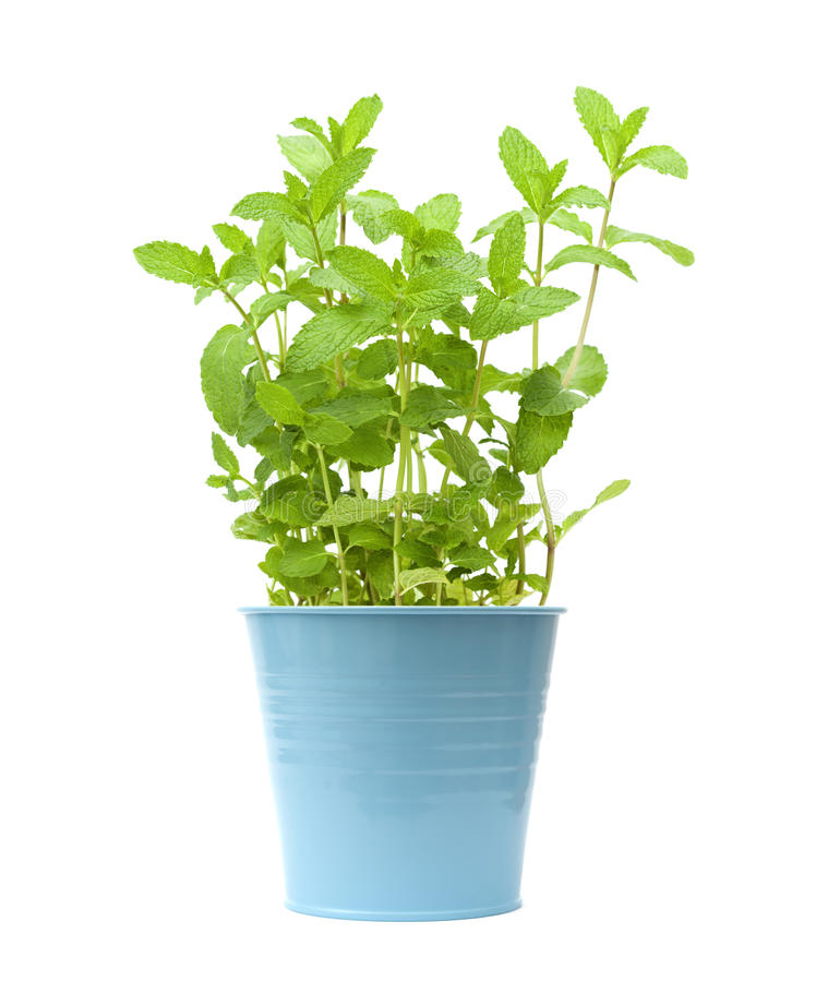 plantas crecientes frescas de la menta fotos de archivo