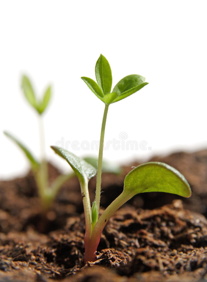 Plantas crescentes das sementes foto de stock