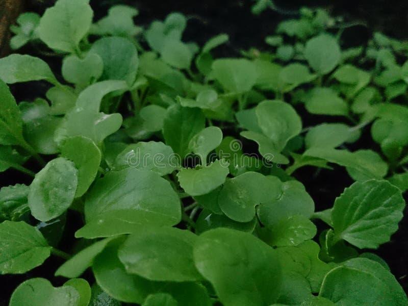 Plantas crescentes e dia 2 de Gogreen imagens de stock